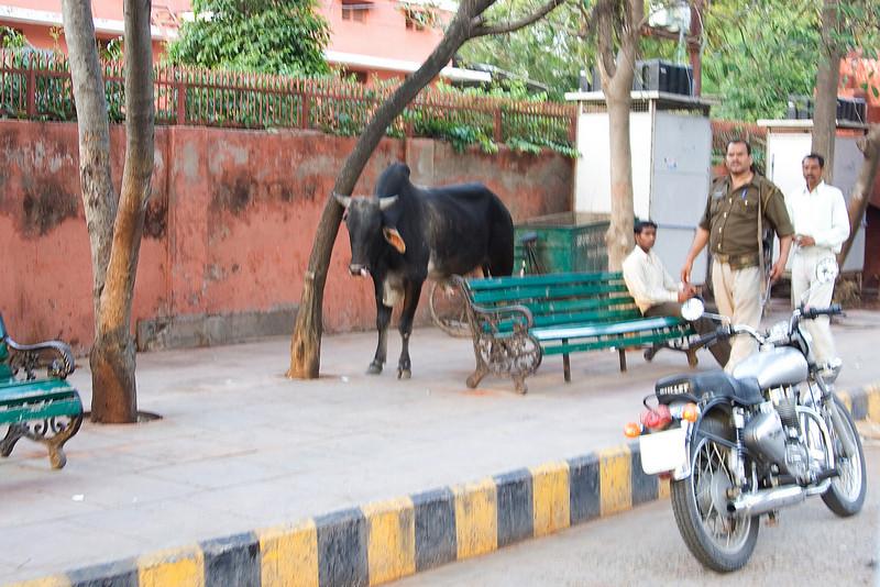 Bull in the Street.jpg