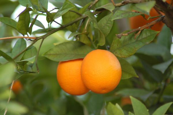 Oranges in AZ