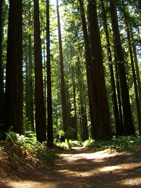 The boys and I loved to hike under the thick canopy of redwoods, in the deep shade, on thick cushiony pine needles!