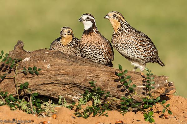 Texas Birds 2015