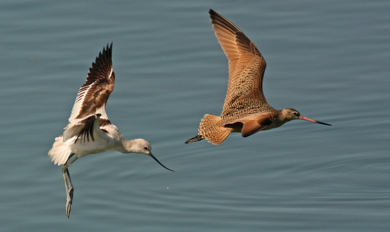American Avocet threatens Marbled Godwit