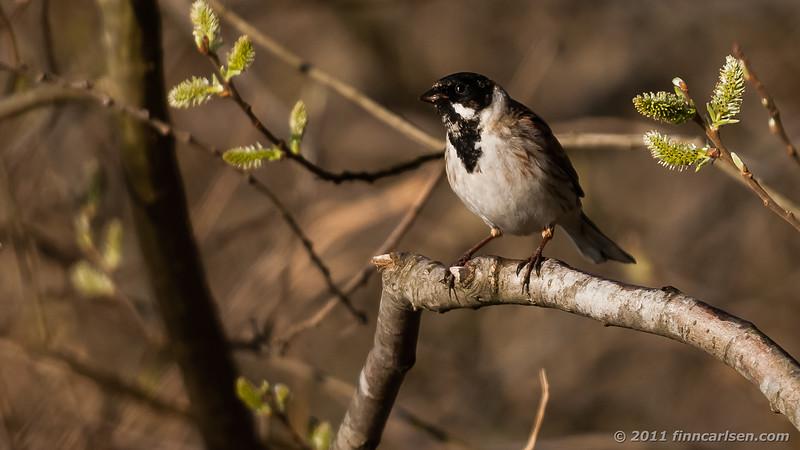 Rørspurv - Emberiza schoeniclus - Reed Bunting