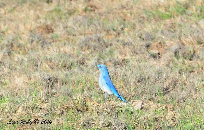 Mountain Bluebird - 12/29/2014 - Rangeland Road