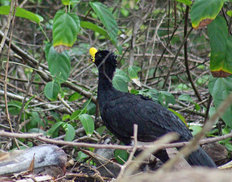 Great Curassow male