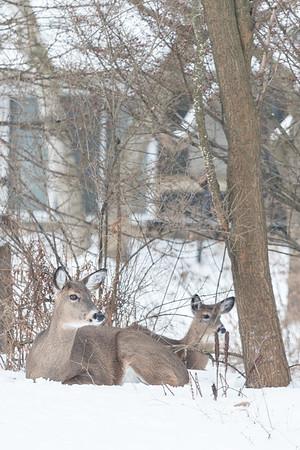 2.14.19 Deer in the Yard