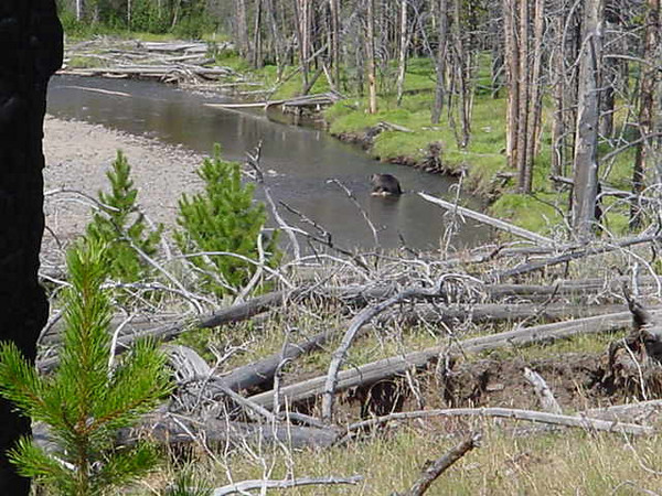 Yes, as a matter of fact, that is a Grizzly Bear eating an Elk on a rock in the middle of a river.  And yes, he did smell/see us as we walked by 50 yards away....