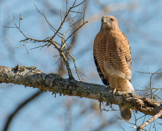 Red-shouldered Hawk 2_DWL6471-3.jpg