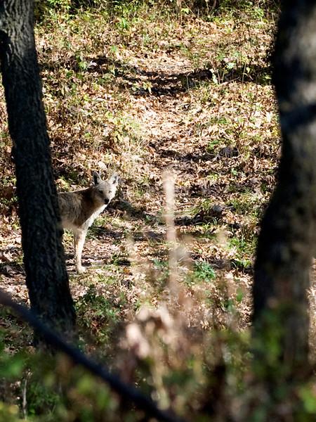 clip-015-coyote-wdsm-21oct11-1698.jpg