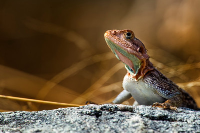 Agamid Lizards