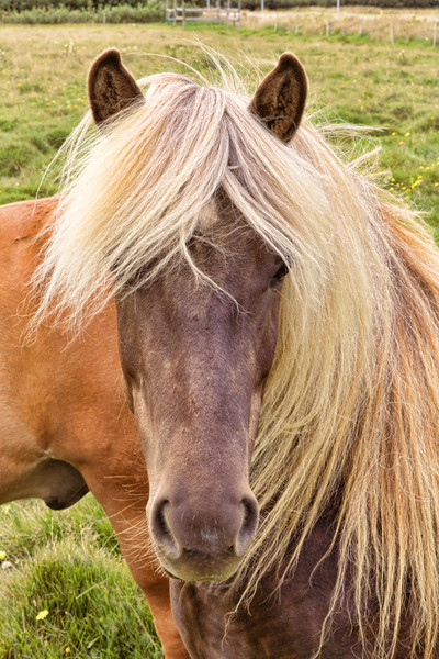 Icelandic Horsey. Very friendly fellow.