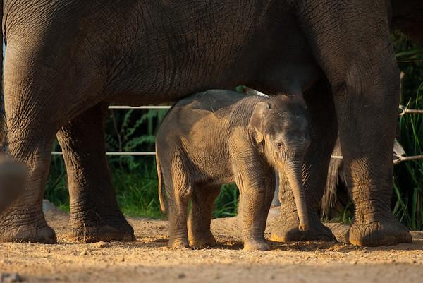 Baby elephant Tupelo