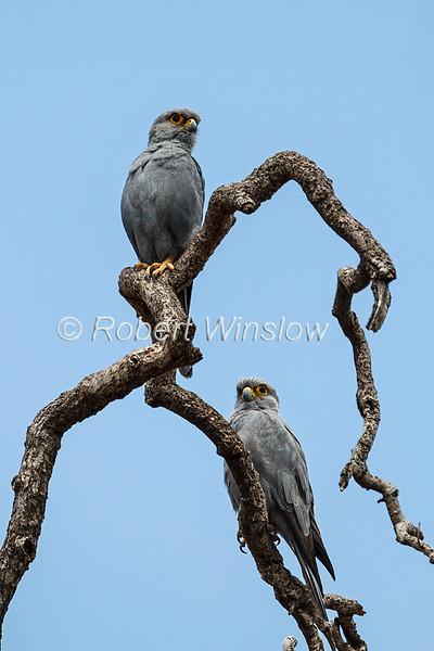 Grey Kestrel, Falco ardosiaceus, Masai Mara National Reserve, Kenya, Africa