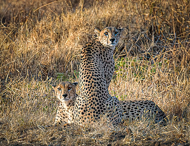 Cheetahs of Tanzania