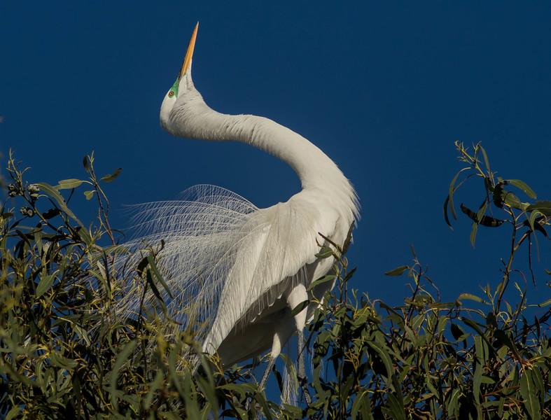 Courtship Egret