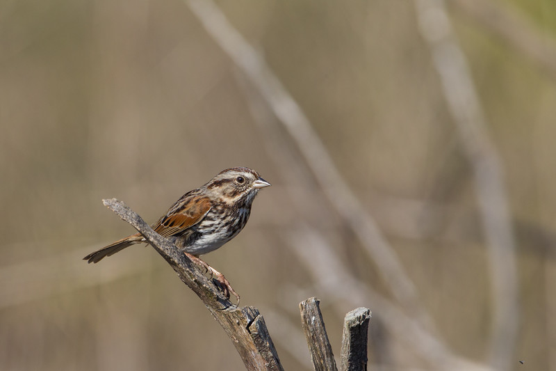 Song Sparrow - Pescadero, CA, USA