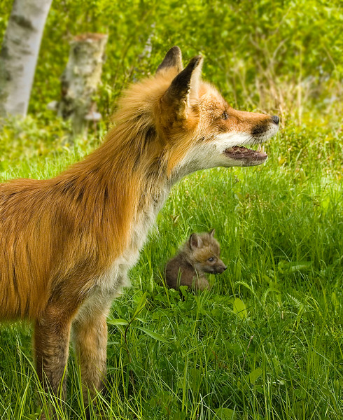 Foxes-1.jpg