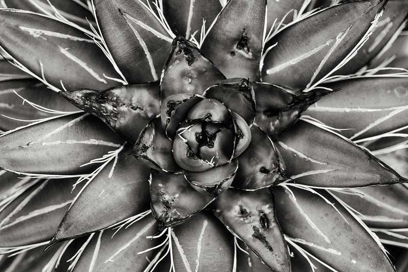 agave-filifera-var-compacta.jpg