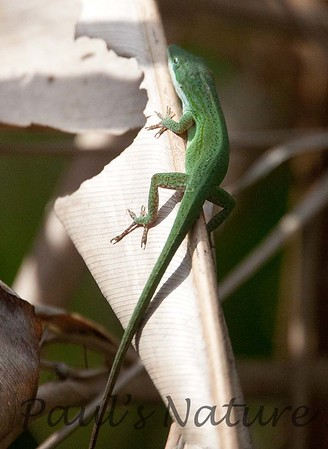 Green-anole Florida