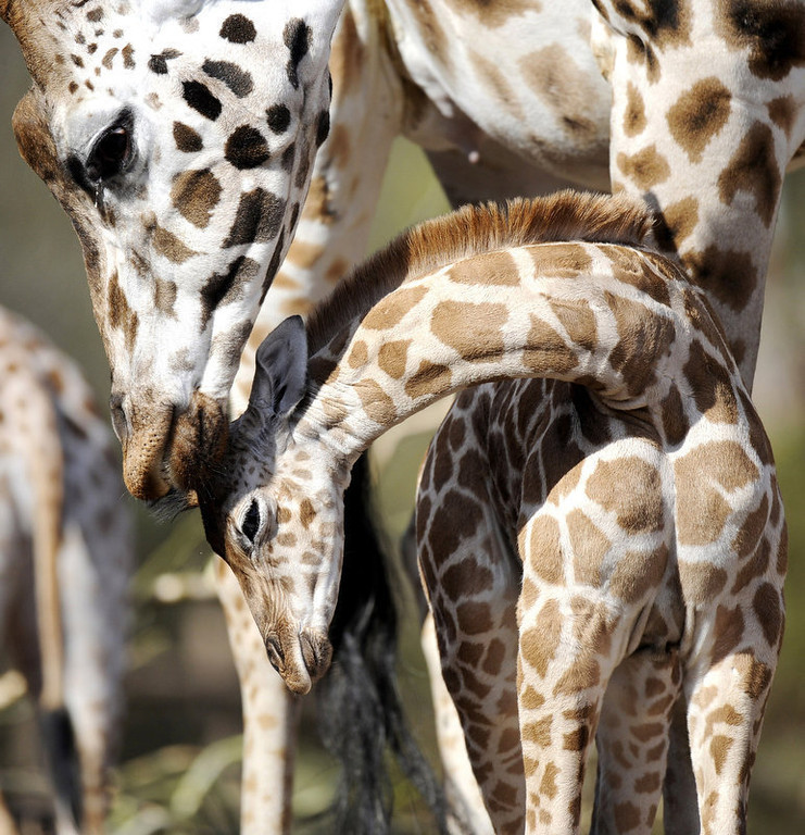 . A baby Giraffe stands next to its mother in the zoo in Hanover.  (NIGEL TREBLIN/AFP/Getty Images)