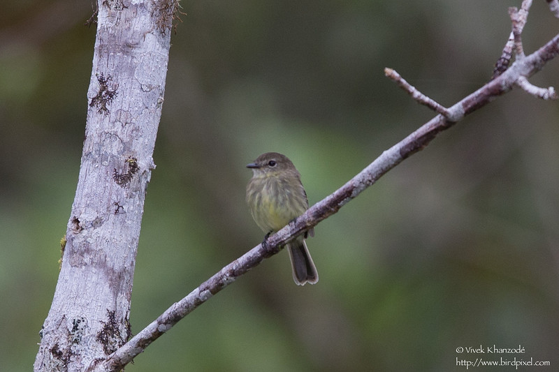 Olive-chested Flycatcher - Record - San Isidro Lodge, Ecuador