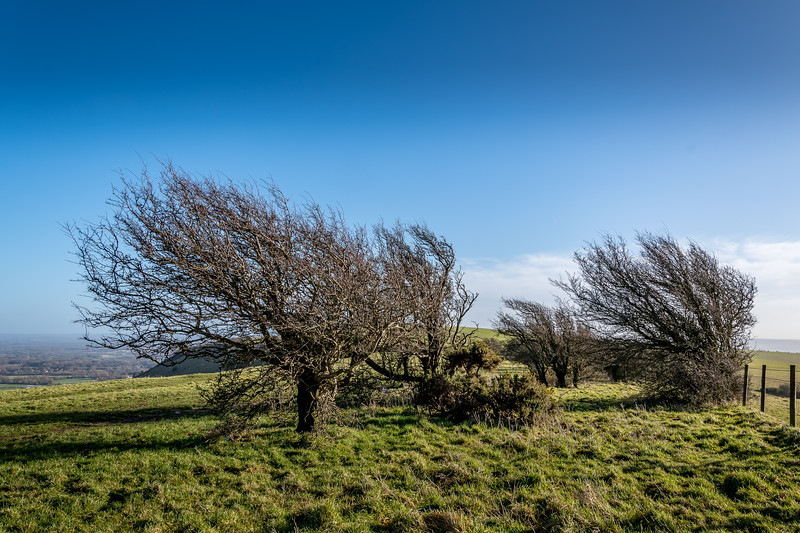 Windswept Trees on the Downs