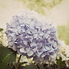 Gulf Summer is beginning to fade the hydrangeas.