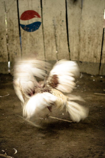 roosters-fighting_4697995420_o.jpg