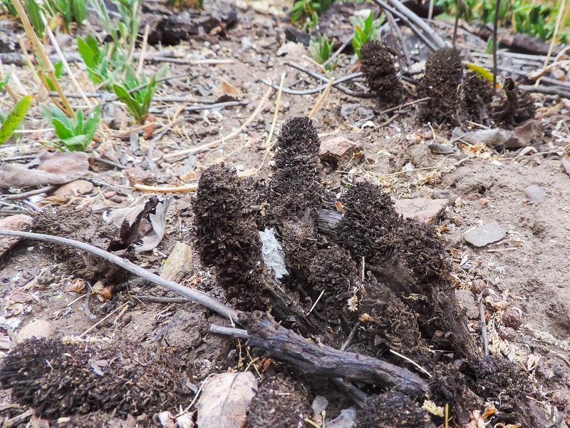 Sand Plant (Pholisma arenarium) BORAGINACEAE