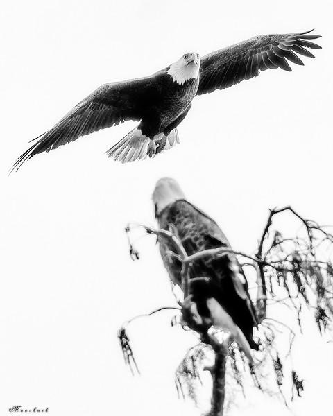 Eagle_DSC9834-copy.jpg