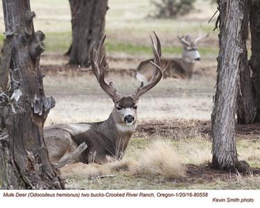 Mule Deer M80558.jpg