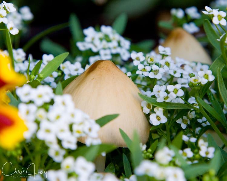Mushroom in the Alyssum.jpg