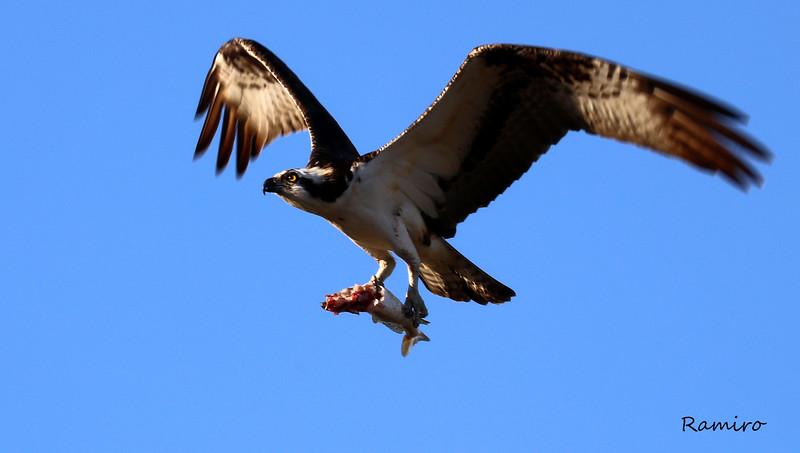 Osprey IMG_3922.jpg