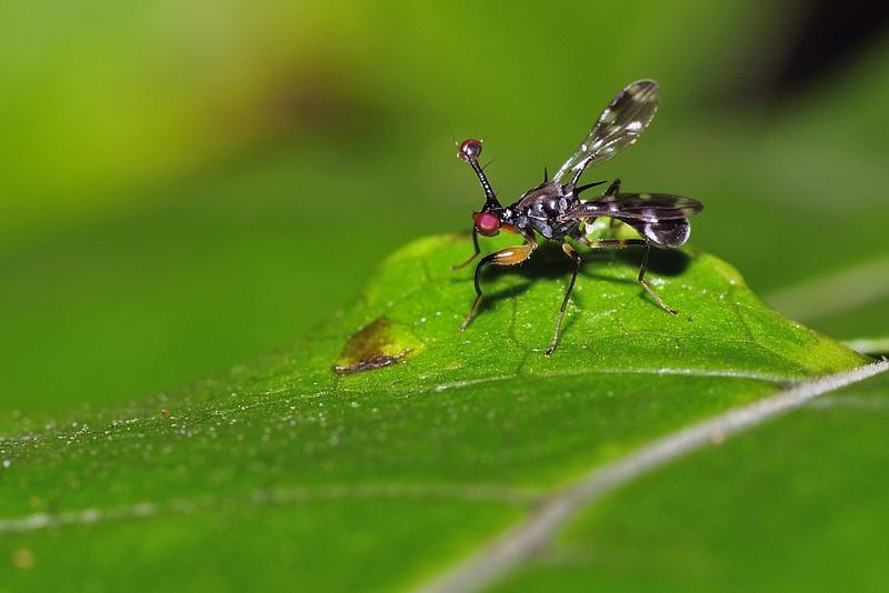Stalk-eyed-fly-04.jpg