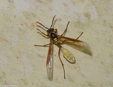 Hymenopteres du Costa Rica