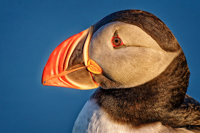Puffins and other birds