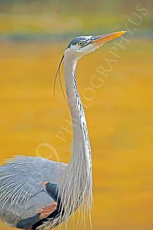 Great Blue Heron Wildlife Photography