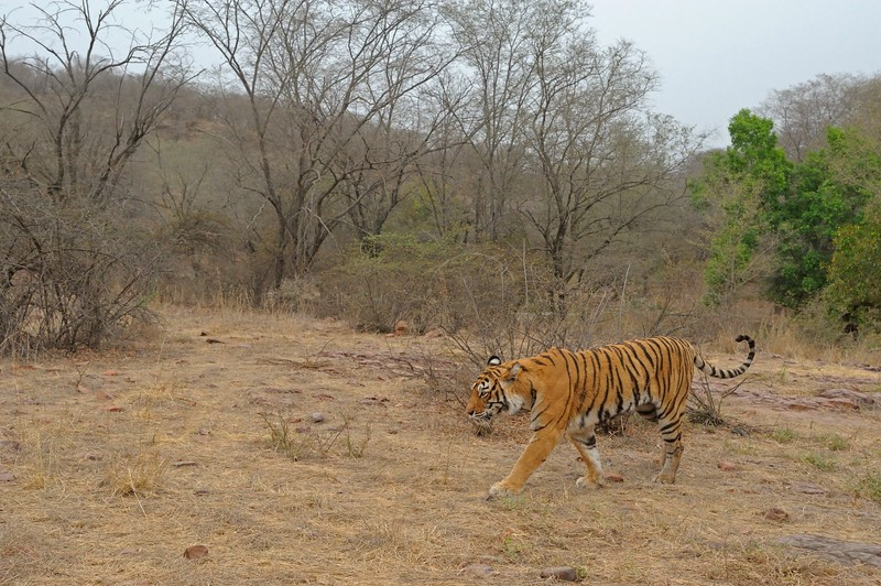 Tiger in its habitat in Ranthambhore national park,