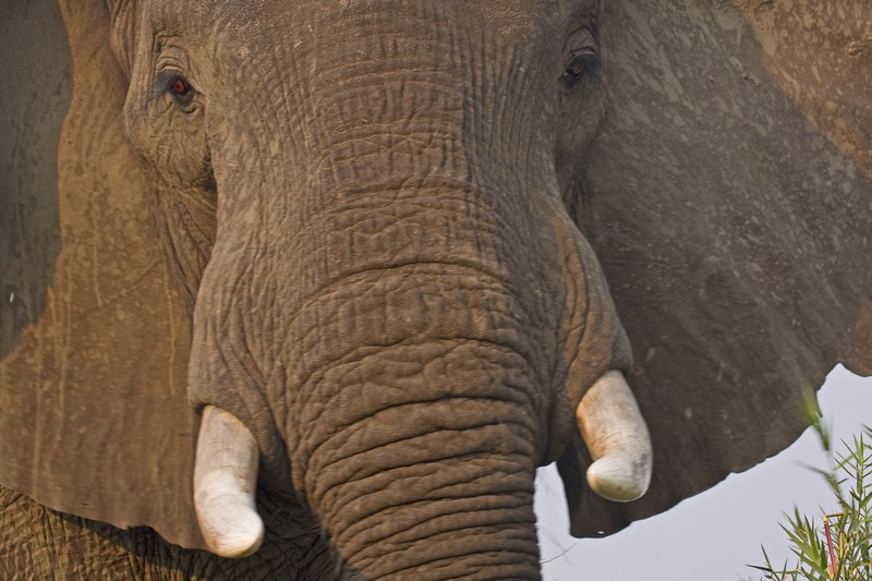 1 Elephant-In Your Face 3-TIFFZIMBABWEElephant-In Your Face 3-TIFF.jpg
