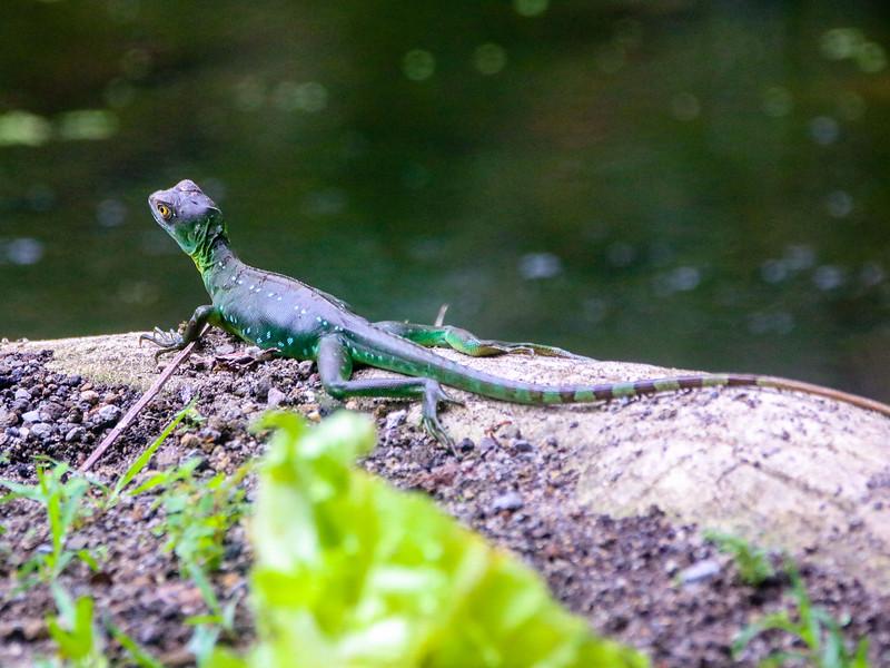 Green lizard taking the sun