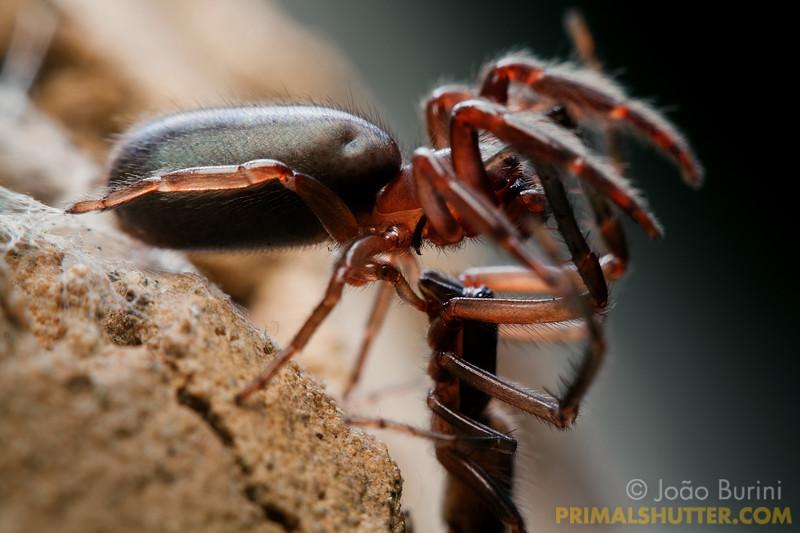 Segestriidae spiders mating