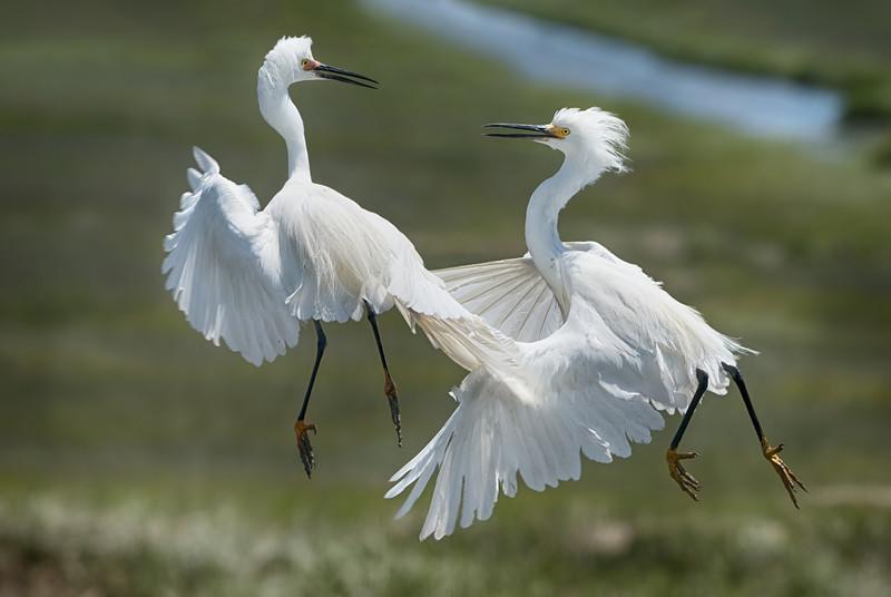Egrets_DSC5825-Edit.jpg
