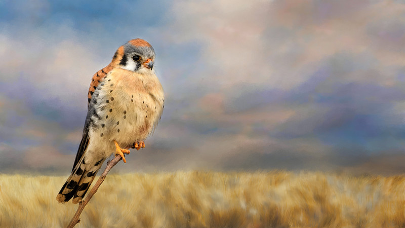 Kestrel wallpaper-sunoverthegoldenfield-Multiply blend-1867.jpg