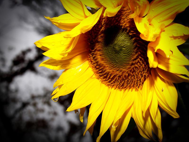sunflowerpaint2.jpg