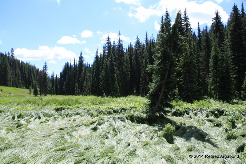 Meadow near Lolo Visitor Center - Note the tall grass laying down due to deer and elk resting here.