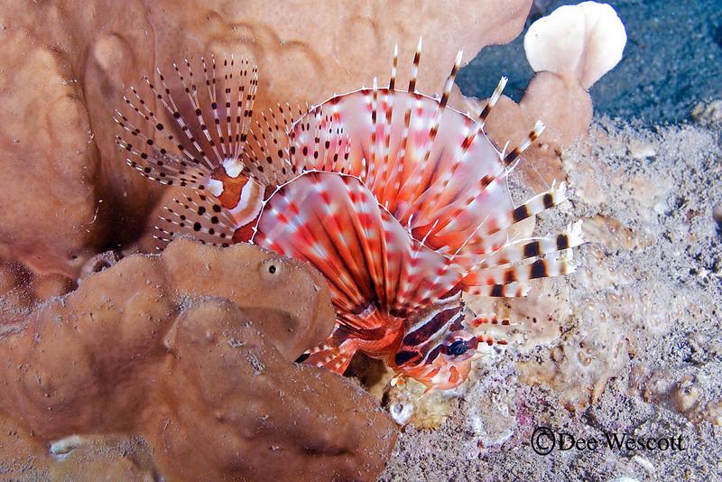 Spotfin Lionfish 4.jpg