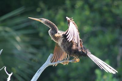 Pelicans, Boobies, and Frigatebirds