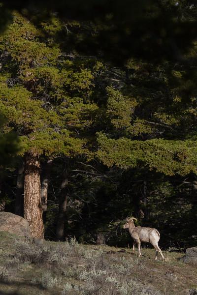 Bighorn near Yellowstone PicnicYellowstone National Park WY IMG_6508.jpg