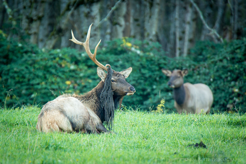 Mop-top elk has lost one antler - still looking stylish
