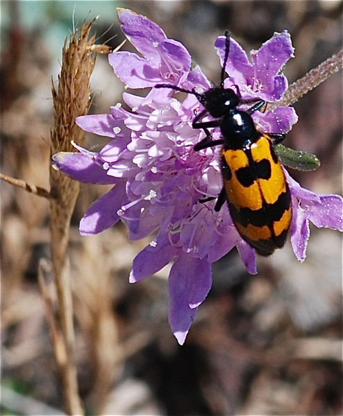 Black and Yellow Flower Beetle, Camargue South of France 2009 ak