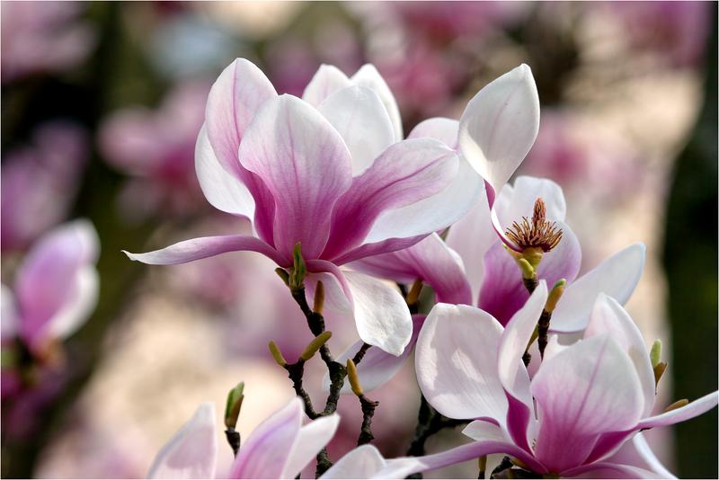 20120323_magnolia_08.png